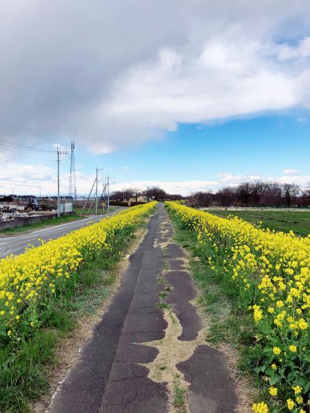 小貝川菜の花