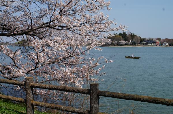 フォトギャラリー 桜