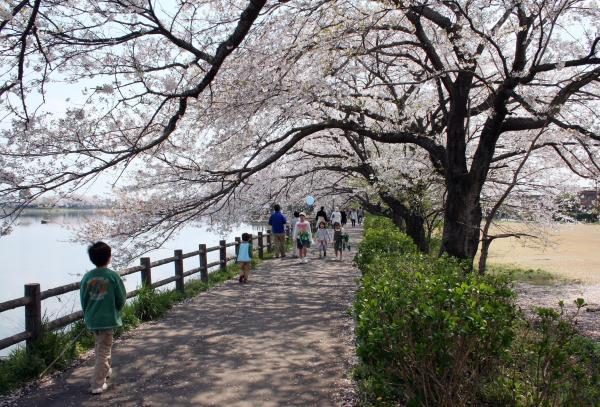 砂沼の桜2
