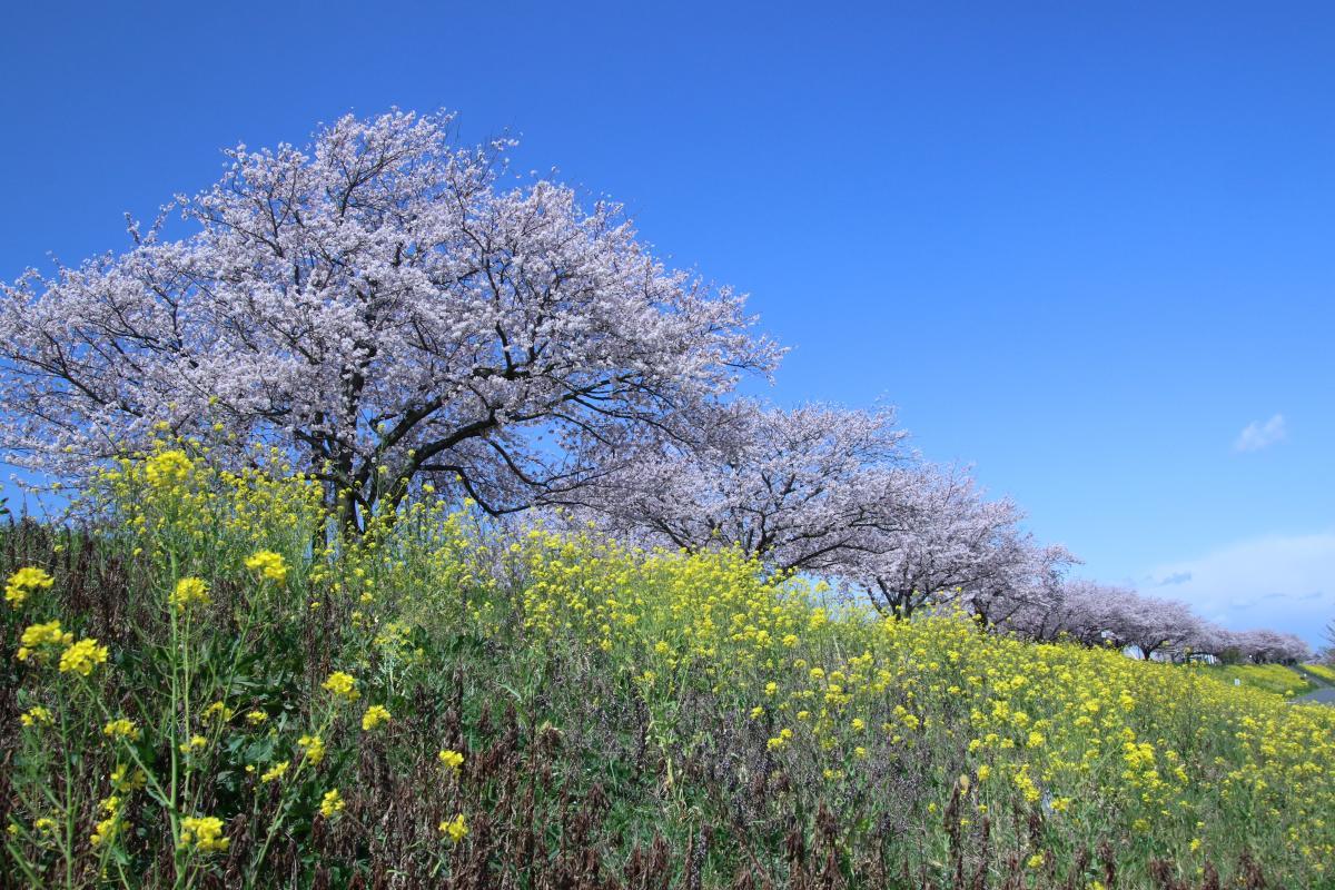 小貝川菜の花桜